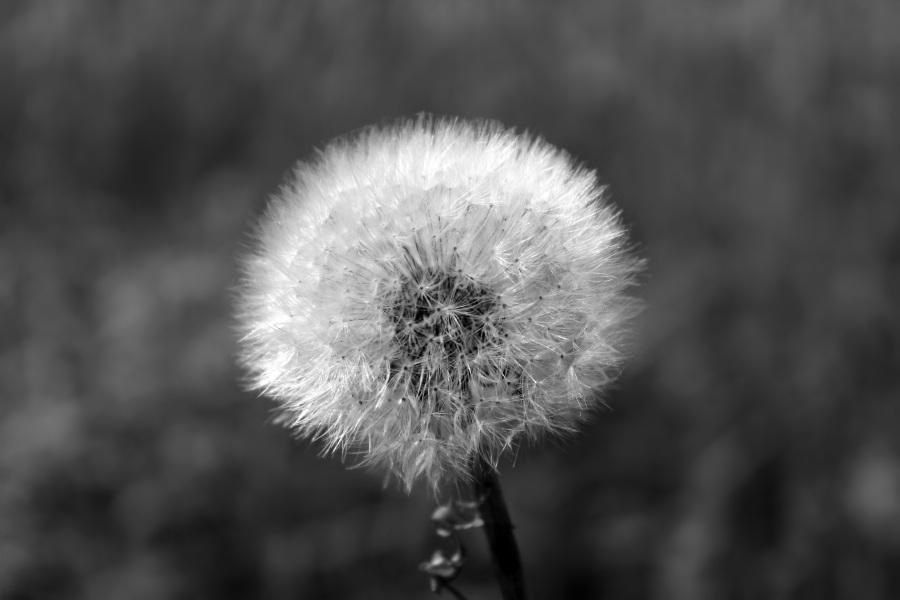 dandelion-1563950